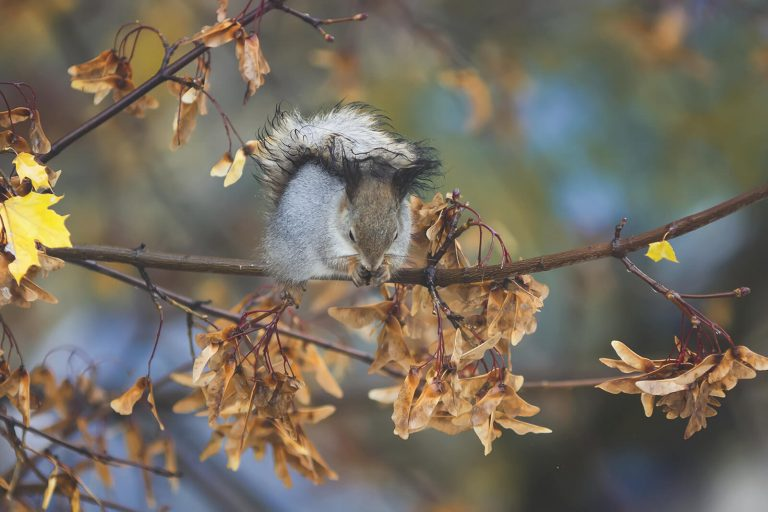 Squirrell eating maple seeds edible in winter